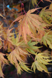 Acer palmatum 'Tiger Rose' Japanese Maple