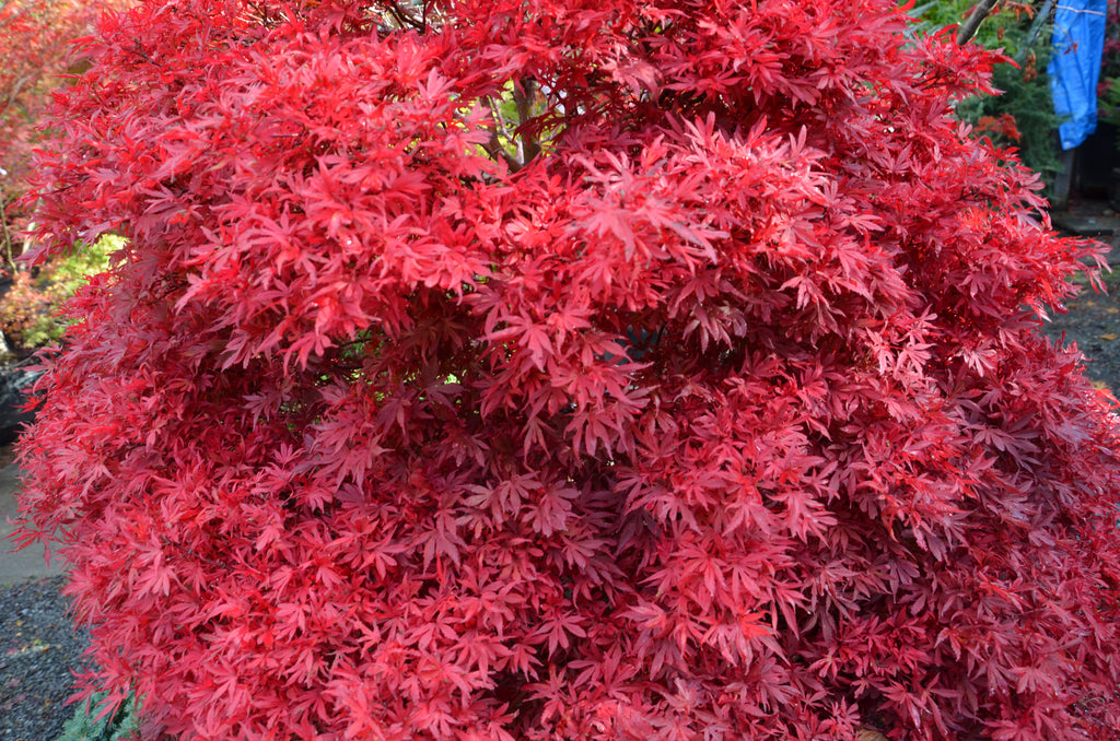 Buy Acer Palmatum Shaina Dwarf Red Japanese Maple Tree
