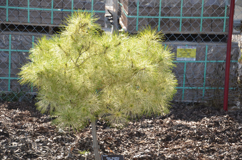 Pinus densiflora 'Golden Ghost' Variegated Japanese Red Pine Tree