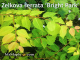 Zelkova serrata 'Ogon' Golden Yellow Japanese Zelkova