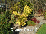 Acer palmatum 'Orange Dream' Japanese Maple