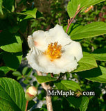 Stewartia pseudocamellia Flowering - Bark Interest - Fall Color - Japanese Stewartia