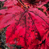 Acer japonicum 'Taki no gawa' Full Moon Japanese Maple