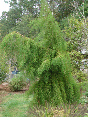 Taxodium distichum 'Falling Waters' Weeping Bald Cypress