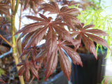 Acer palmatum 'Trompenburg' Japanese Maple