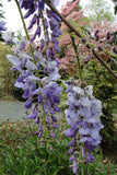 Wisteria sinensis 'Southern Belle' Blue Lavender Flowering Chinese Wisteria