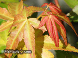 Acer palmatum 'Akane' Spring Color Japanese Maple