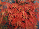 Acer palmatum 'Dragon's Fire' Weeping Japanese Maple