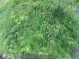 Acer palmatum 'Green Gem' Japanese Maple