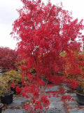 Acer palmatum 'Red Spider' Red Japanese Maple