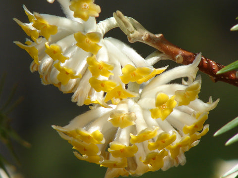 Edgeworthia chrysantha 'Gold Rush' Chinese Paperbush