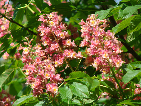 Aesculus x carnea 'Fort McNair' Red Flowering Horse Chestnut Tree