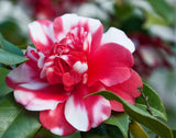 Camellia japonica 'Governor Mouton' Double Pink-Red and White Variegated Bloom Hardy Camellia