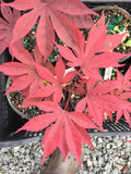 Acer palmatum 'Shazam' Large Leaf Japanese Maple