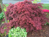Acer palmatum 'Crimson Queen' Laceleaf Japanese Maple