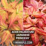 Acer palmatum 'Japanese Princess' Dwarf Japanese Maple