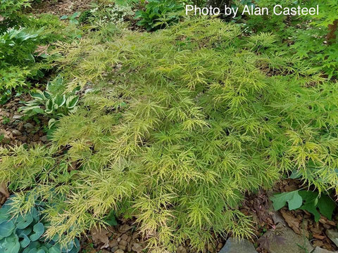 Acer palmatum 'Otto's Dissectum' Weeping Japanese Maple
