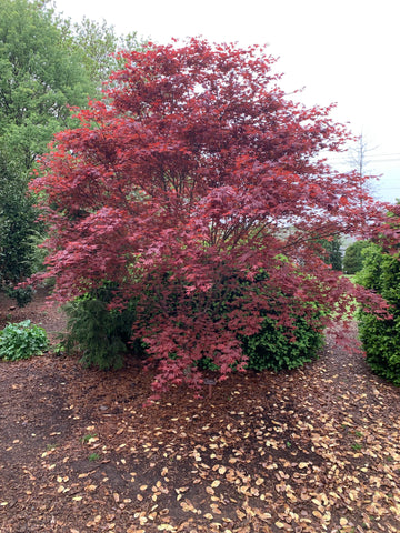 Buy Acer Palmatum Red Baron Japanese Maple Mr Maple Buy