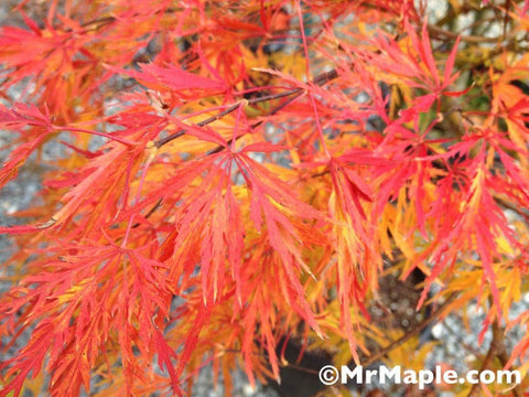 Buy Acer Palmatum Dissectum Viridis Japanese Maple Mr Maple