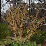 Acer palmatum 'Bihou' Yellow Coral Bark Japanese Maple