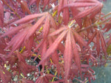 Acer palmatum 'Will's Devine' Japanese Maple