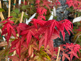 Acer palmatum 'Bonfire' Japanese Maple