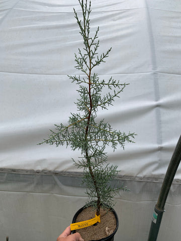 Buy Cupressus Arizonica Blue Ice Blue Arizona Cypress Mr Maple Buy Japanese Maple Trees