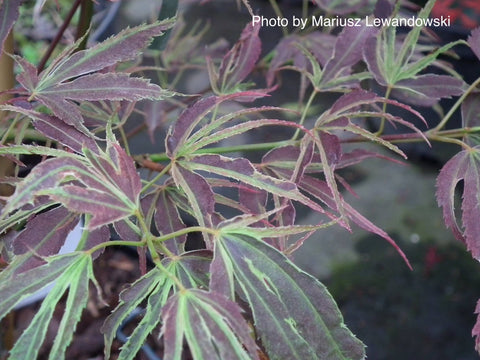 Acer palmatum 'Manyo no sato' Japanese Maple