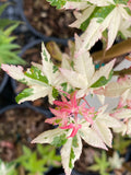 Acer palmatum 'Ilarian' Japanese Maple