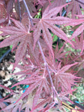 Acer palmatum 'Crimson Prince' Dark Red Japanese Maple