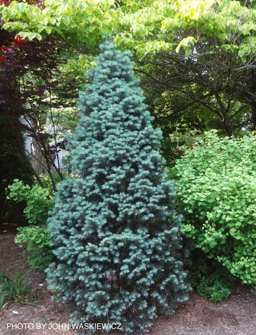 Abies concolor 'Compacta' White Fir
