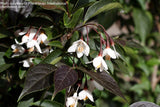 Styrax japonicus 'Evening Light' Red Leafed Japanese Snowbell Tree