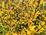 Poncirus trifoliata 'Flying Dragon' Contorted Hardy Orange
