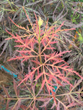 Acer palmatum 'Curtis' Weeping Red Japanese Maple