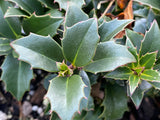 Ilex x 'Rock Garden' Dwarf Holly