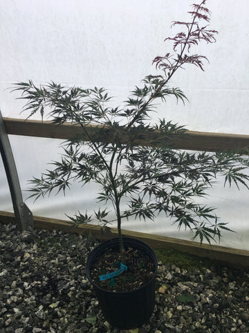 Acer palmatum 'Aka shidare' Weeping Deep Red Japanese Maple