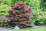 Acer palmatum 'Brandt's Dwarf' Small Red Japanese Maple Tree