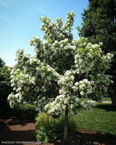 Chionanthus retusus 'China Snow' Flowering Chinese Fringe Tree