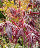 Acer palmatum 'Ruby Ridge' Japanese Maple