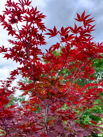 Acer palmatum 'Nuresagi' Japanese Maple