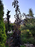 Fagus sylvatica 'Black Swan' Weeping Purple European Beech