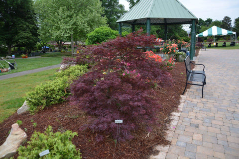 Buy Acer Palmatum Dissectum Red Dragon Dwarf Japanese Maple Mr