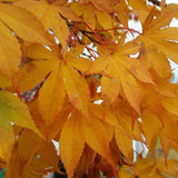 Acer palmatum 'Blackbeard's Gold' Japanese Maple