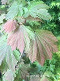 Acer japonicum 'Emmett's Pumpkin' Full Moon Japanese Maple