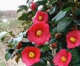 Camellia japonica 'Korean Fire' Red Flowering Zone 6 Cold Hardy Camellia