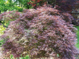 Acer palmatum 'Ever Red' Weeping Red Japanese Maple