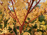 Acer palmatum 'Winter Red' Coral Bark Japanese Maple
