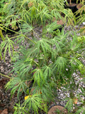 Acer palmatum x shirasawanum 'Green River' Weeping Japanese Maple
