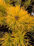 Pinus sylvestris 'Gold Coin' Winter Yellow Scots Pine