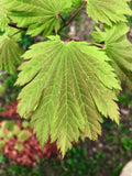 Acer japonicum 'Indian Summer' Full Moon Japanese Maple